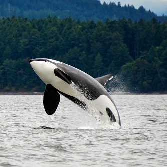 Whatcom Whale Watching